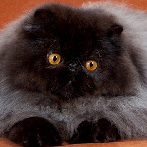 Harlindon Allevamento Gatti Persiani
