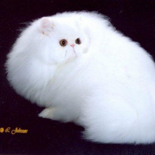 Ben noto Harlindon - Allevamento gatti persiani DH78